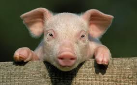 Продажа свиней Черкассы  КУПИТИ свиней жива вага 1020100 кг  От производителя