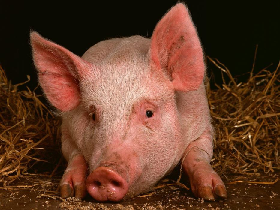 Продам свиней  Черкассы и область  КУПИТь свиней живой вес 1020100 кг