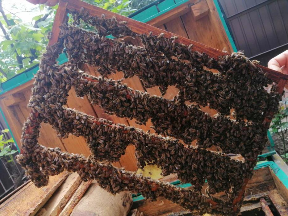 Пчеломатки карпатка Бджоломатки карпатка
