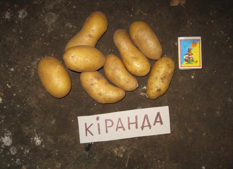 Картофель посадочный ранний Киранда Королева Анна Киви и др